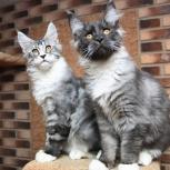 Котята мейн-кунята, Новосибирск