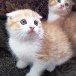 Британцы котята, Новосибирск