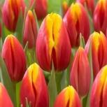 Тюльпаны от производителя, Новосибирск