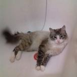 Потерялся кот, во время прогулки, Новосибирск