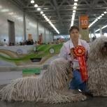 Комондора (венгерской, шнуровой овчарки) щенков, Новосибирск