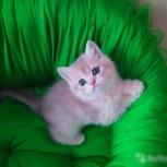 Британские котята драгоценного окраса, Новосибирск