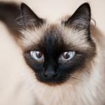 Кошка Боня -породистая красавица, Новосибирск