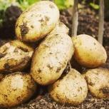 Картофель семенной, Новосибирск