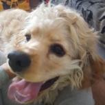 Найдена собака кокер-спаниель, Новосибирск