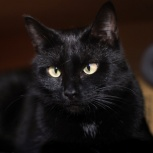 Молодая чёрная кошечка Мелани.Стерилизована, Новосибирск