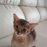 Предлагается к резервированию абиссинский котенок, Новосибирск