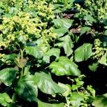 Декоративное растение из Южной Америки (Перу) Мапачо — рассада, Новосибирск