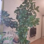 Аукуба - Золотое дерево, Новосибирск
