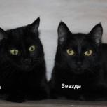 Черные котята-девочки 8 месяцев, стерилизованные, Новосибирск