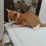 Отдам рыжих котят, Новосибирск