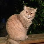 Кошка Хайленд Страйт, Новосибирск