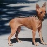 потерялась собака тойчик, Новосибирск