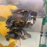 Акватеррариум с красноухими черепахами, Новосибирск