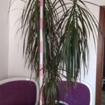 Продаю цветок Драцена 1,7 м, Новосибирск