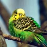Куплю попугая, Новосибирск