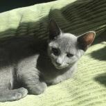продаются котята русской голубой, Новосибирск