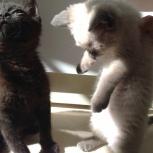 Чудесные котята в добрые руки, Новосибирск