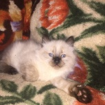 котенок 1,5мес., Новосибирск