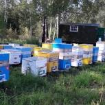Продам пчел, Новосибирск