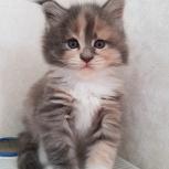 Маленькие котята породы мейн-кун, Новосибирск