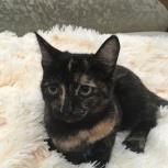 Найдена миниатюрная кошка (кот), Новосибирск