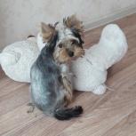 Продам щенка йорка, Новосибирск