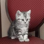 Шотланд.котенок, Новосибирск