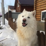 Кобель якутской лайки для вязки, Новосибирск