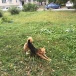 Собака ищет хозяина, Новосибирск