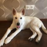 Найден белый щенок на Алтае, Новосибирск