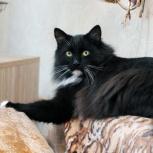 Красавец-кот Черныш в поисках семьи!, Новосибирск