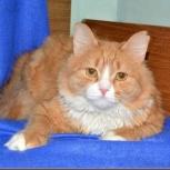 Бонифаций - рыжий красивый кот!, Новосибирск