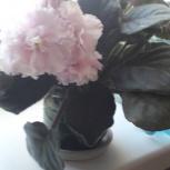Продам фиалку в цвету, Новосибирск