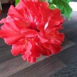 фикусы и китайская роза, Новосибирск