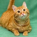Барбарис - красивущий рыжий кот!, Новосибирск