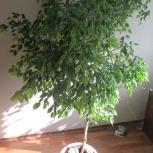 Фикус Голден моник дерево, Новосибирск