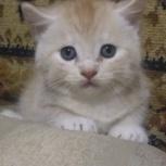 Продам котенка британчика, Новосибирск