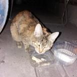 Нашёл молодую кошку (до года), Новосибирск