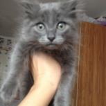 вислоухий котик, Новосибирск