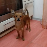 Найден щенок метиса чихуахуа, Новосибирск