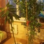 Продам фикус Бенджамина 1,5 метра, Новосибирск