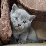 Британские котята продажа, Новосибирск