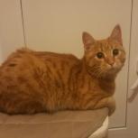 Найден рыжий котик, Новосибирск