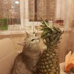 Отдам красивую кошечку Снежинку в добрые руки, Новосибирск