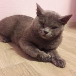 Найдена кошка британской породы 1,5 года, Новосибирск