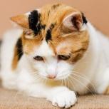 Трехцветная кошка Марго!, Новосибирск