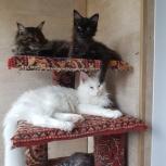 Чистокровные котята гиганты- мейн куны различных окрасов, Новосибирск