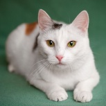 Трехцветная кошка Амура, Новосибирск
