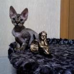 Девон-рекс! Маленькие эльфики, редчайшая порода, продам котят, Новосибирск